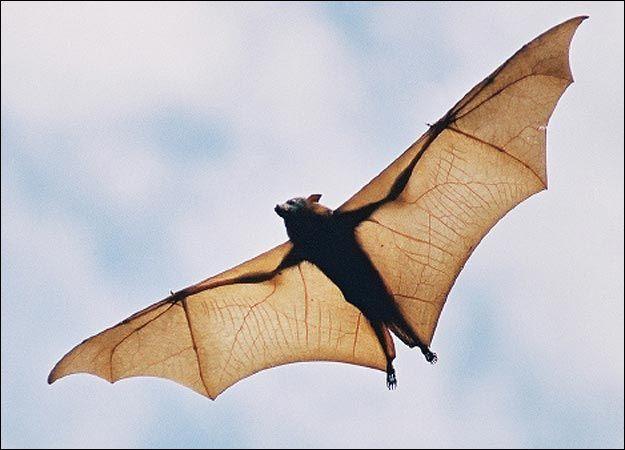 حياة الخفافيش