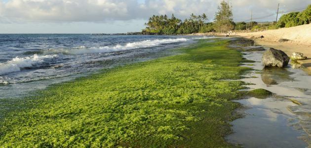 كيف تستفيد من الكوريلا (الطحالب الخضراء)؟
